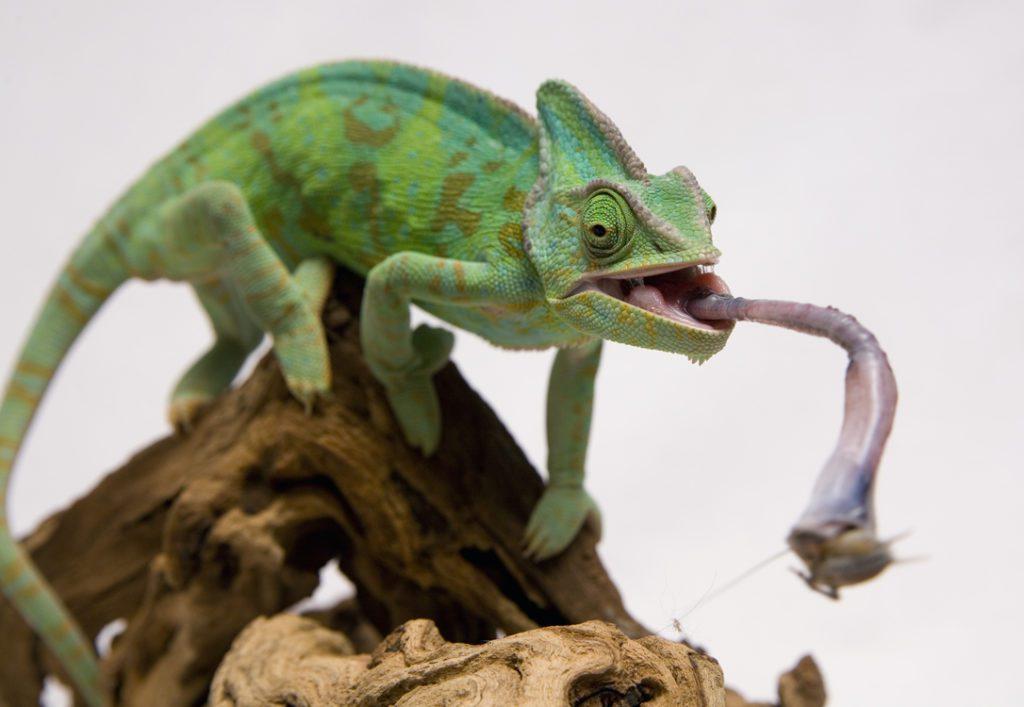 chameleon to eat