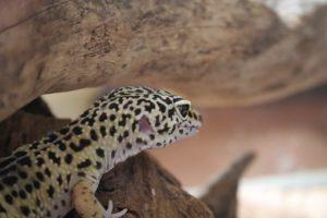 Leopard Gecko Brumation Guide