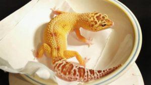 Leopard Gecko Brumation Period