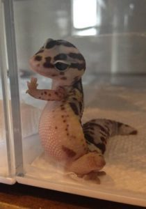Leopard Gecko Glass Surfing