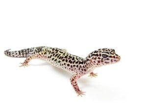 Leopard Gecko Standing Up