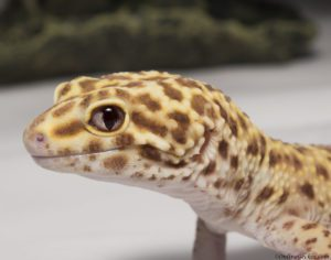 Leopard Gecko Stare at Me