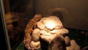 Leopard Gecko heating lamp