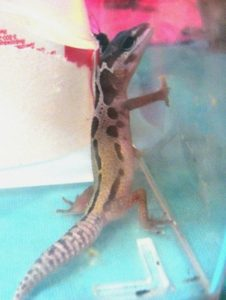Reason for Leopard Gecko Glass Surfing