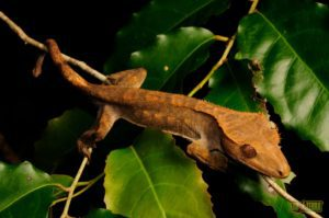 Set Up Right Temperature For Your Crested Gecko