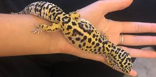 Tame Your Leopard Gecko