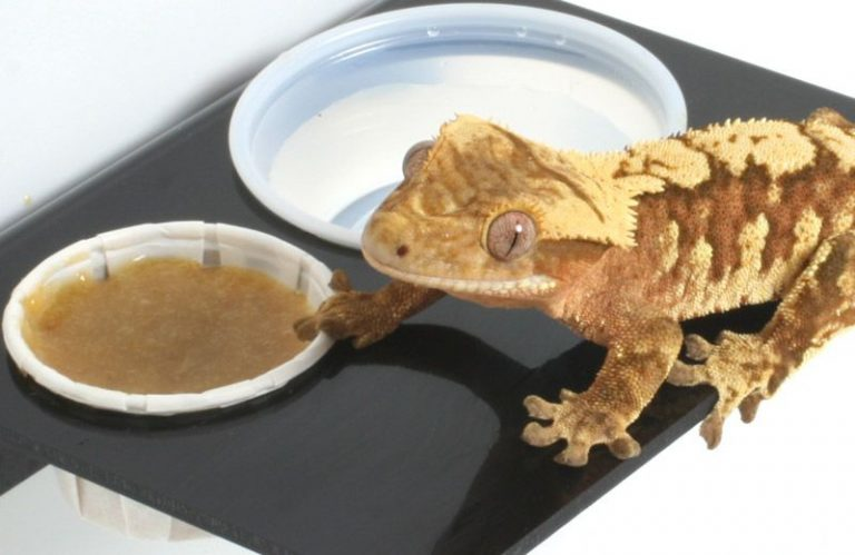Top-foods-for-Crested-Gecko