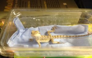 How to Travel with a Leopard Gecko in the Winter