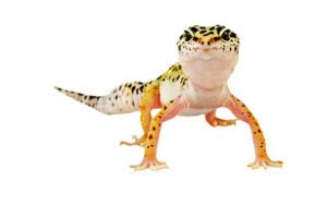 Why Leopard Gecko Standing Up