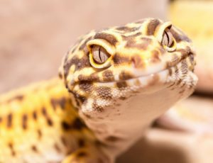 Why do Leopard Gecko Stare at Me