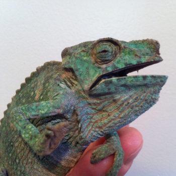 chameleon turing black