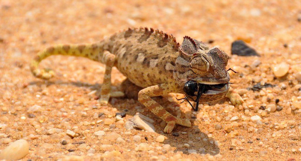 chameleons-eat