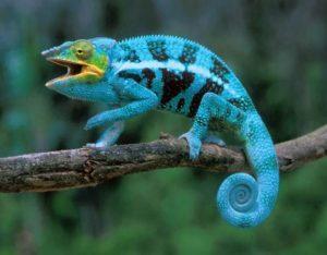 chameleons gaping