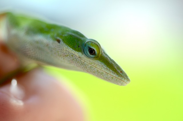 green anole-1