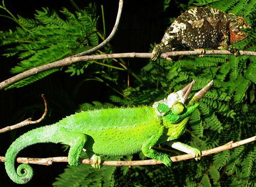 jacksons-chameleon