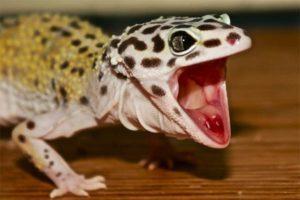 leopard-gecko-aggressive