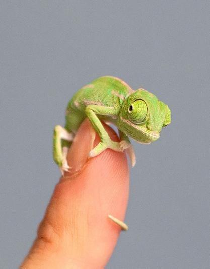 make baby chameleon eat food
