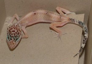 sitck-leopard-gecko