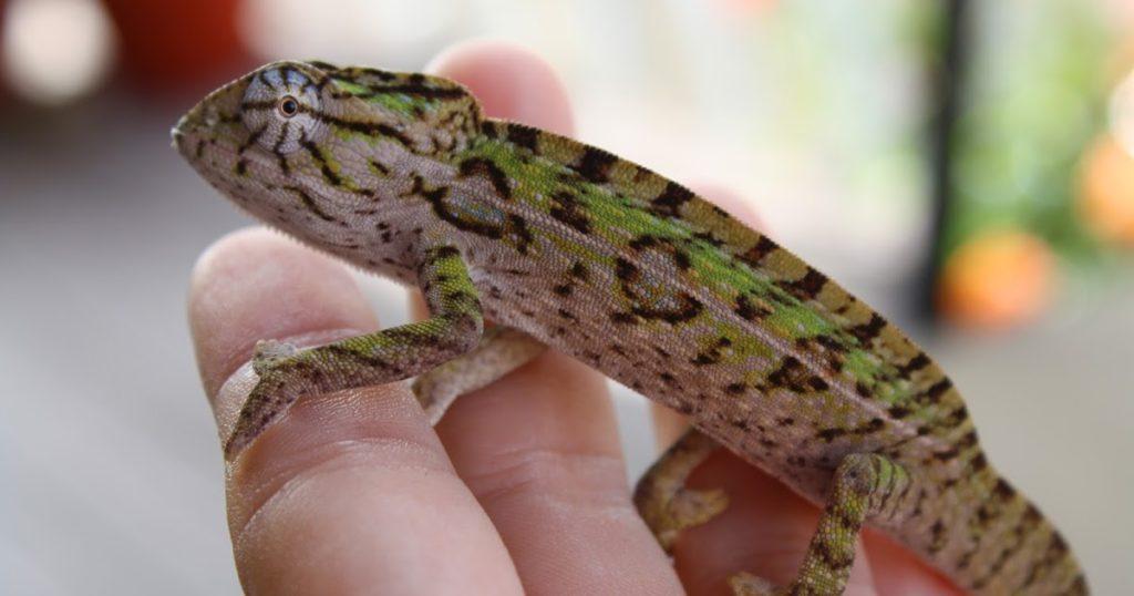 tame chameleon