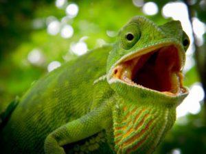 why do chameleons gape