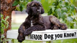 Afador Dog Everything You Need To Know