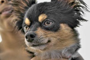 Affenhuahua Dog