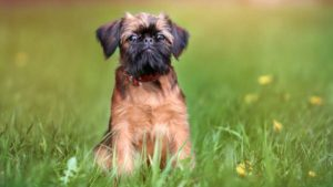 Affenpinscher Dog Everything You Need To Know