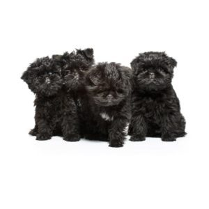 Affenpinscher - Everything You Need To Know