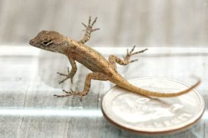 Baby brown anoles