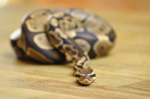 Ball Python Enclosure