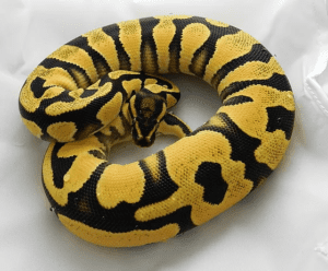 Ball Python Humidity- A Complete Care Guide