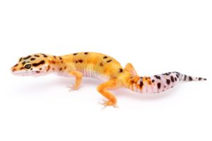 Can -Leopard- Geckos- Travel In A Plane