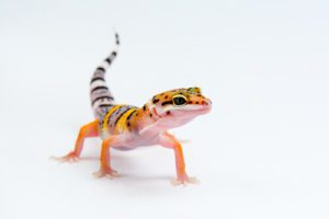 Can Leopard Geckos Travel In A Plane