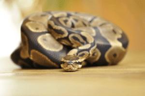 Care A Ball Python Guide
