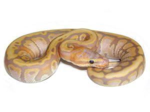 Care For A Ball Python Guide