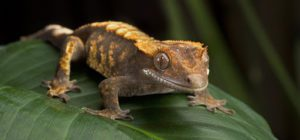 Crested Gecko-Humidity Too High-Guide