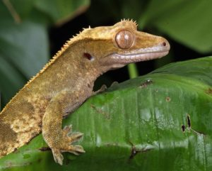Crested Gecko Humidity Too High- Guide