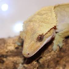 Crested Geckos Digging