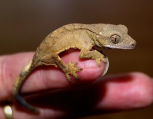 Does Your Crested Gecko Like You