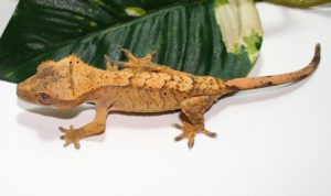 Find A Lost Crested Gecko