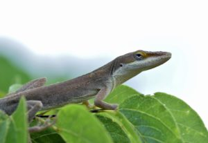 Green Anole 2