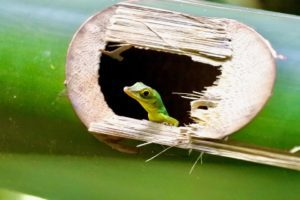 Green Anoles In Trees