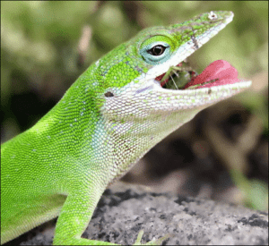 How Long Can Anoles Go Without Eating