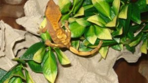 How To Find A Lost Crested Gecko