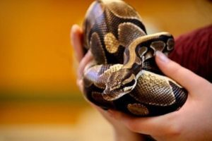 How To Pick Up A Ball Python First Time