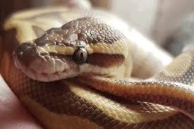 How to Bathe a Ball Python