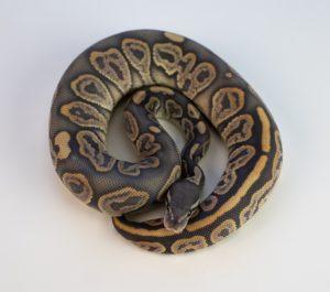 Python tank setup