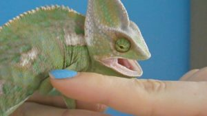 What To Do If A Chameleon Bites You