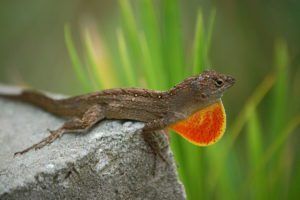 Why Do Anole Change Color