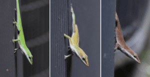 Why Do Anoles Change Color